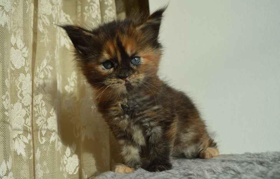 a maine cooon kitten tilting