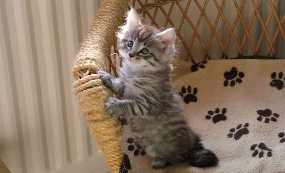 a gray maine coon kitten on a chair