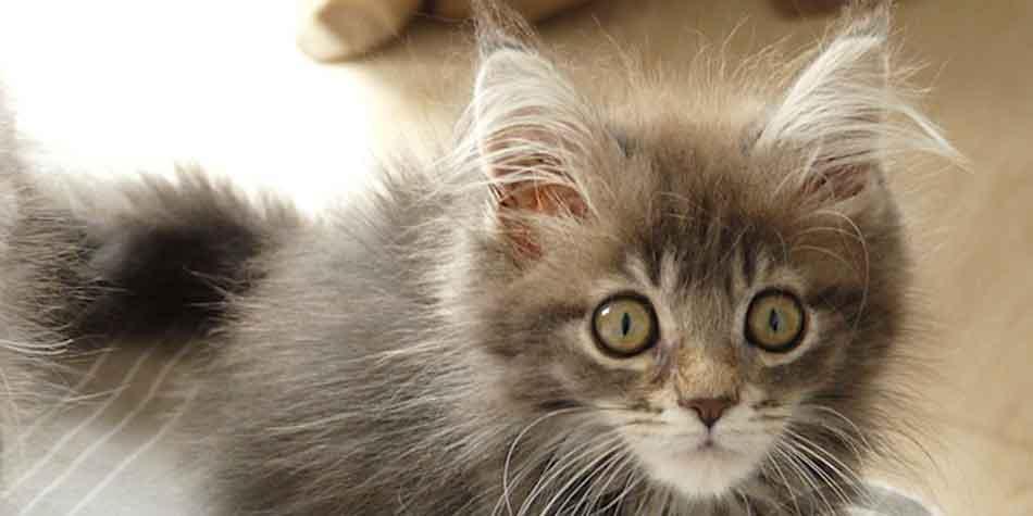 a maine coon kitten close up