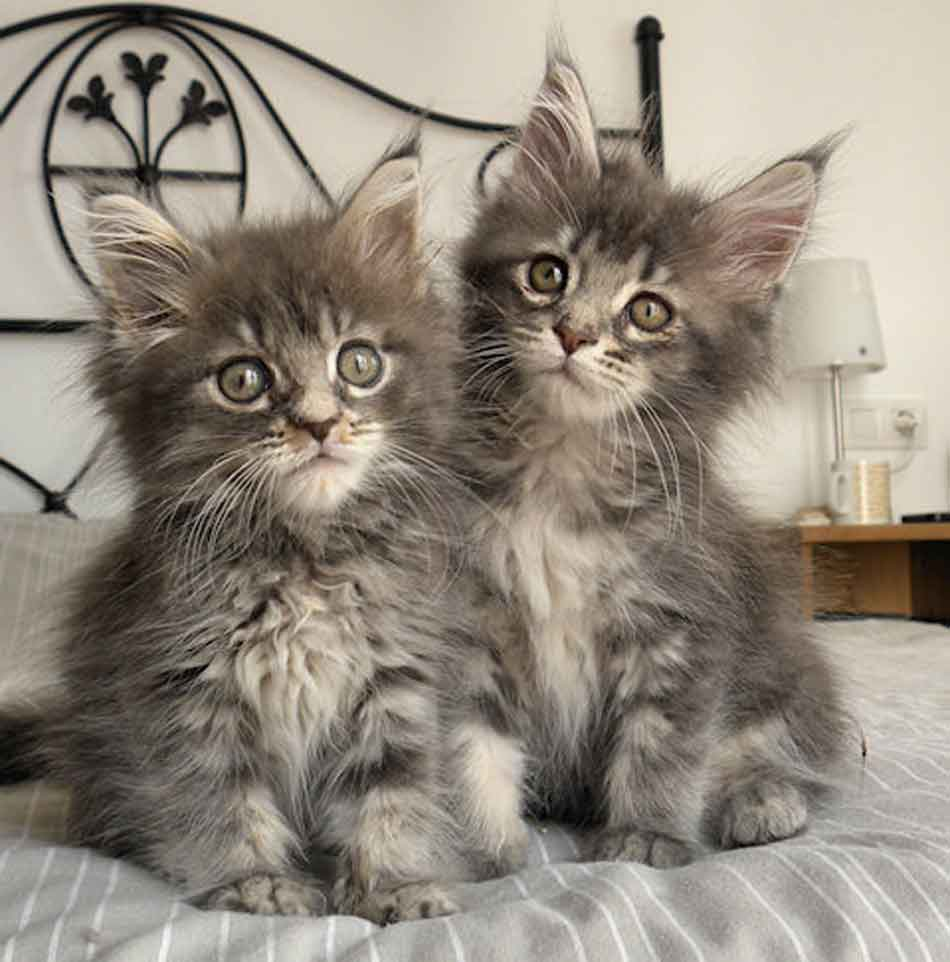 2 grey maine coon kittens on a bed