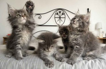 How Long Should I Feed My Maine Coon Kitten Food