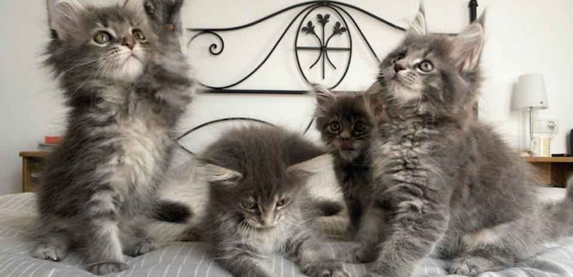 4 grey maine coon kittens on a bed