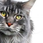 What Are The Life Stages Of A Maine Coon Cat?