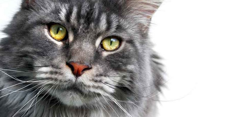 a maine coon in the prime of its life