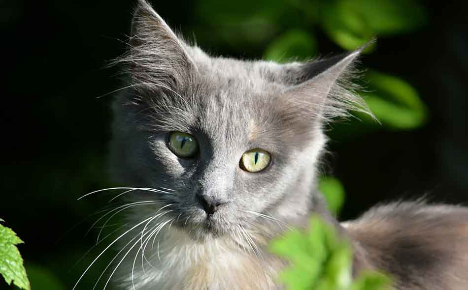 a maine coon kitten