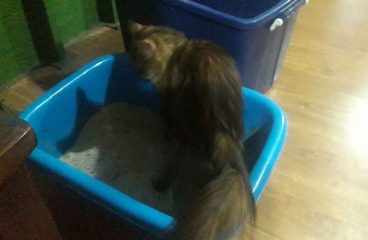 Do Maine Coons Use A Litter Box?