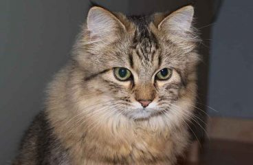 Can Half Maine Coons Grow To The Maine Coon Size?