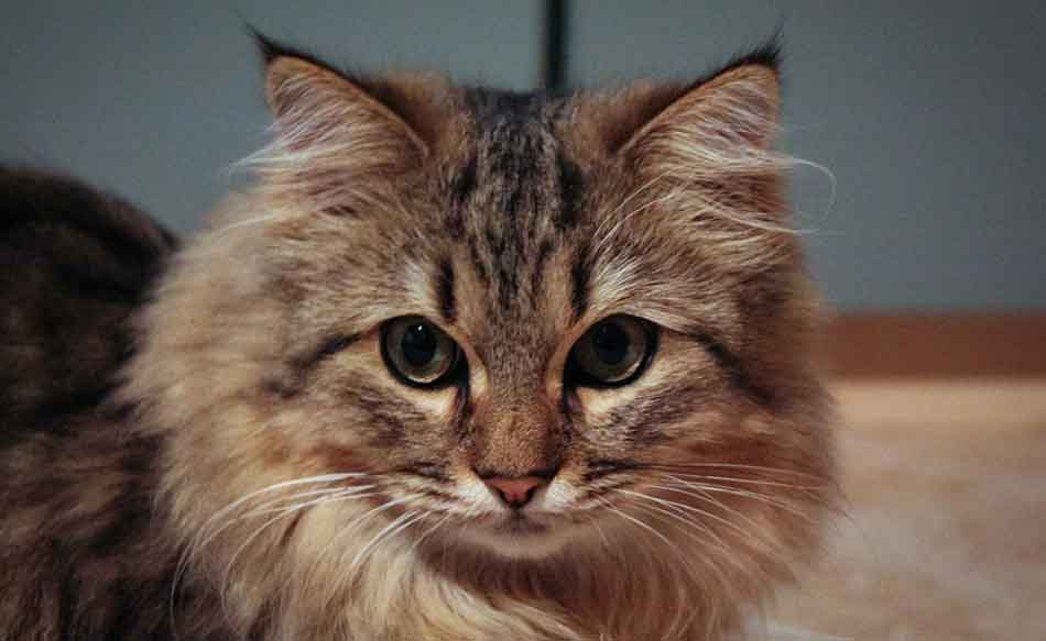 a maine coon mix staring ahead