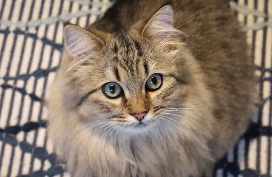 a maine coon mix staring up