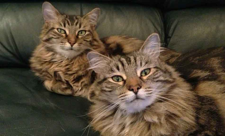 2 maine coons side by side on a couch