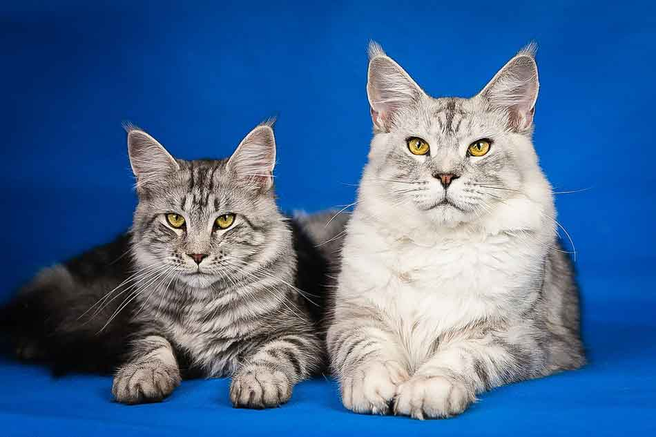 2 maine coons side by side