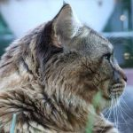 Can You Get A Maine Coon Cat From A Pet Shop?