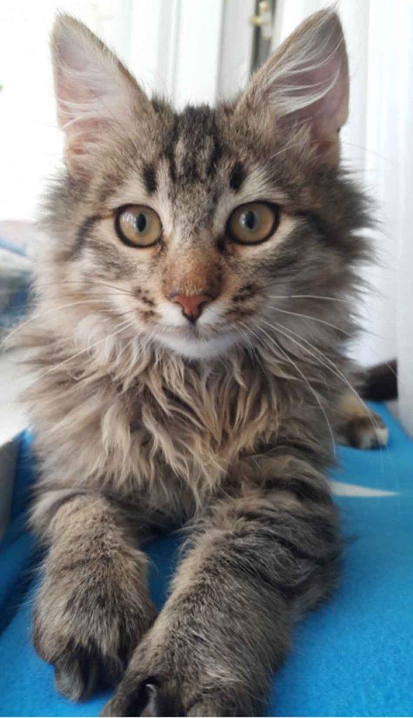 maine coon kitten looking straight ahead