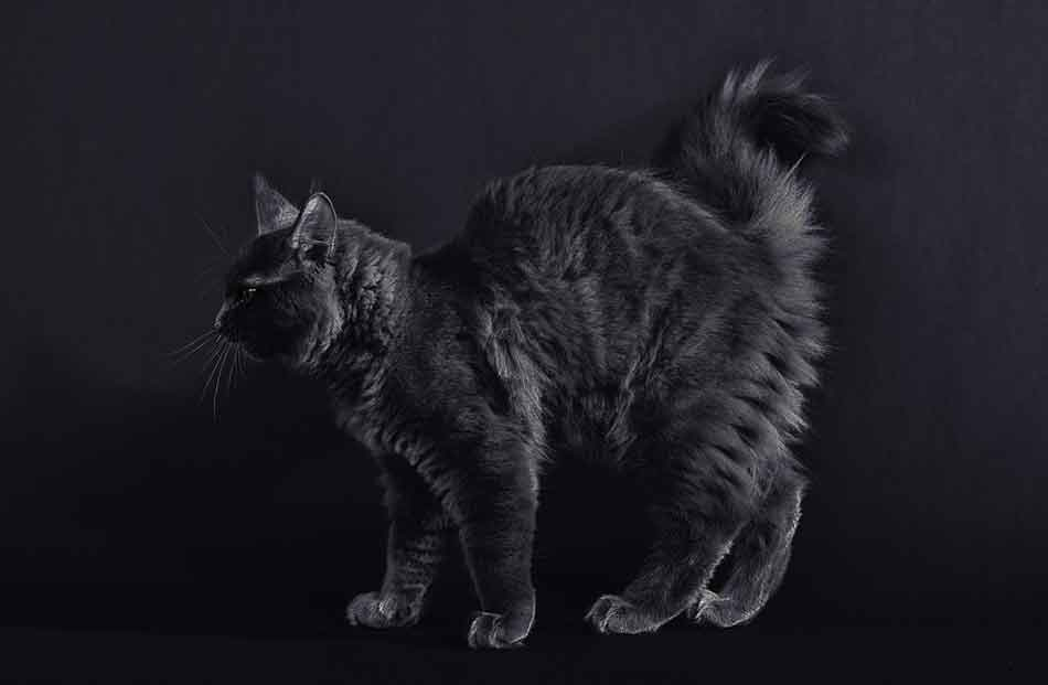 a black maine coon on a black background