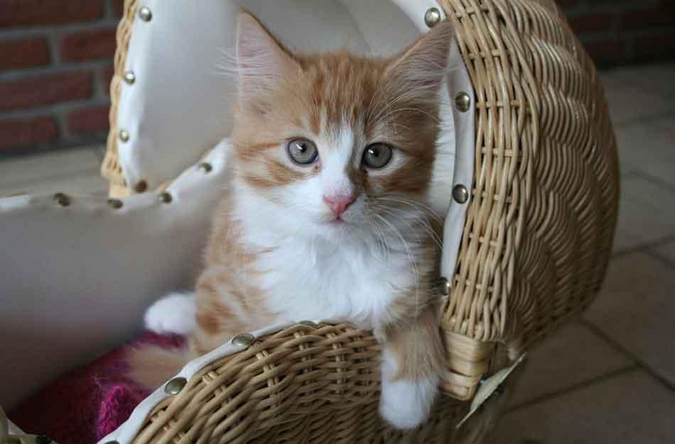 a maine coon kitten in a cat basket