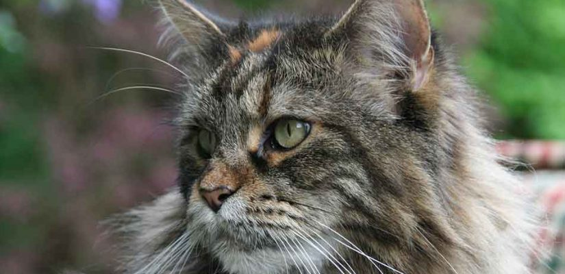 a tabby maine coon close up