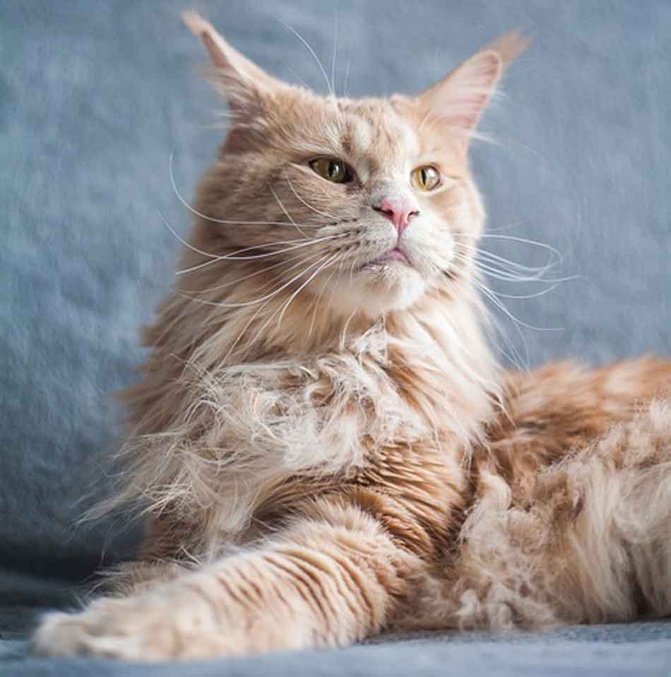 a ginger maine coon looking around