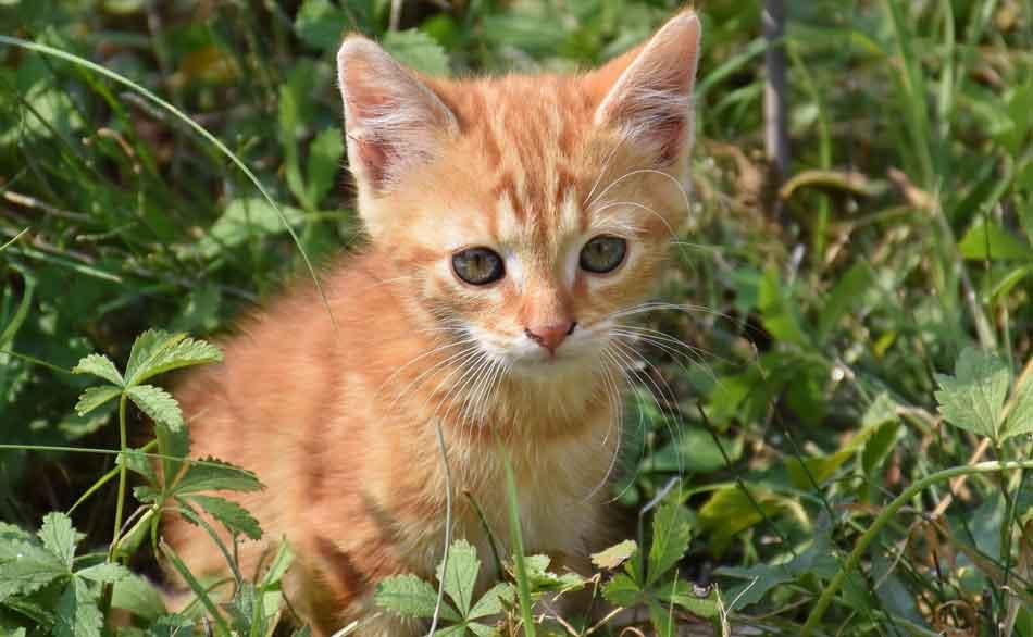 a maine coon kitten outdoors in sunlight