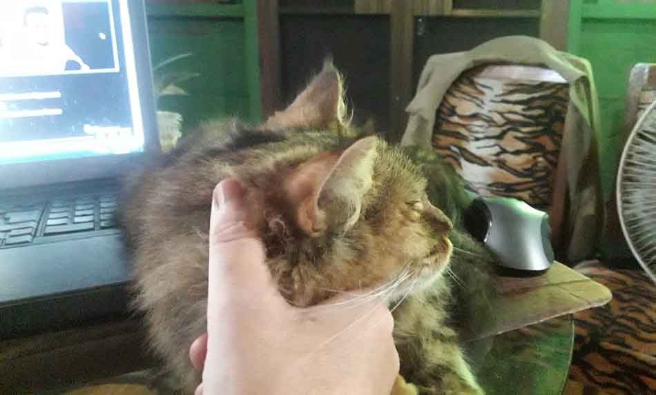 a maine coon having its ear tickled
