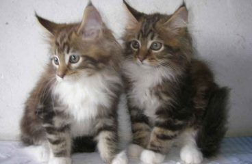 Can Two Maine Coons Live Together?