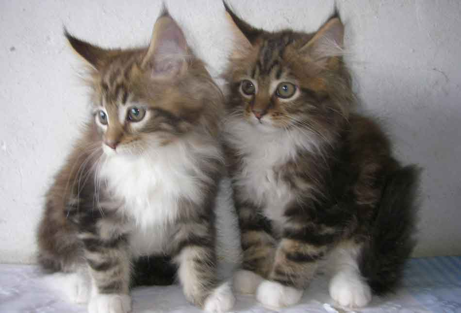 2 maine coon kittens together