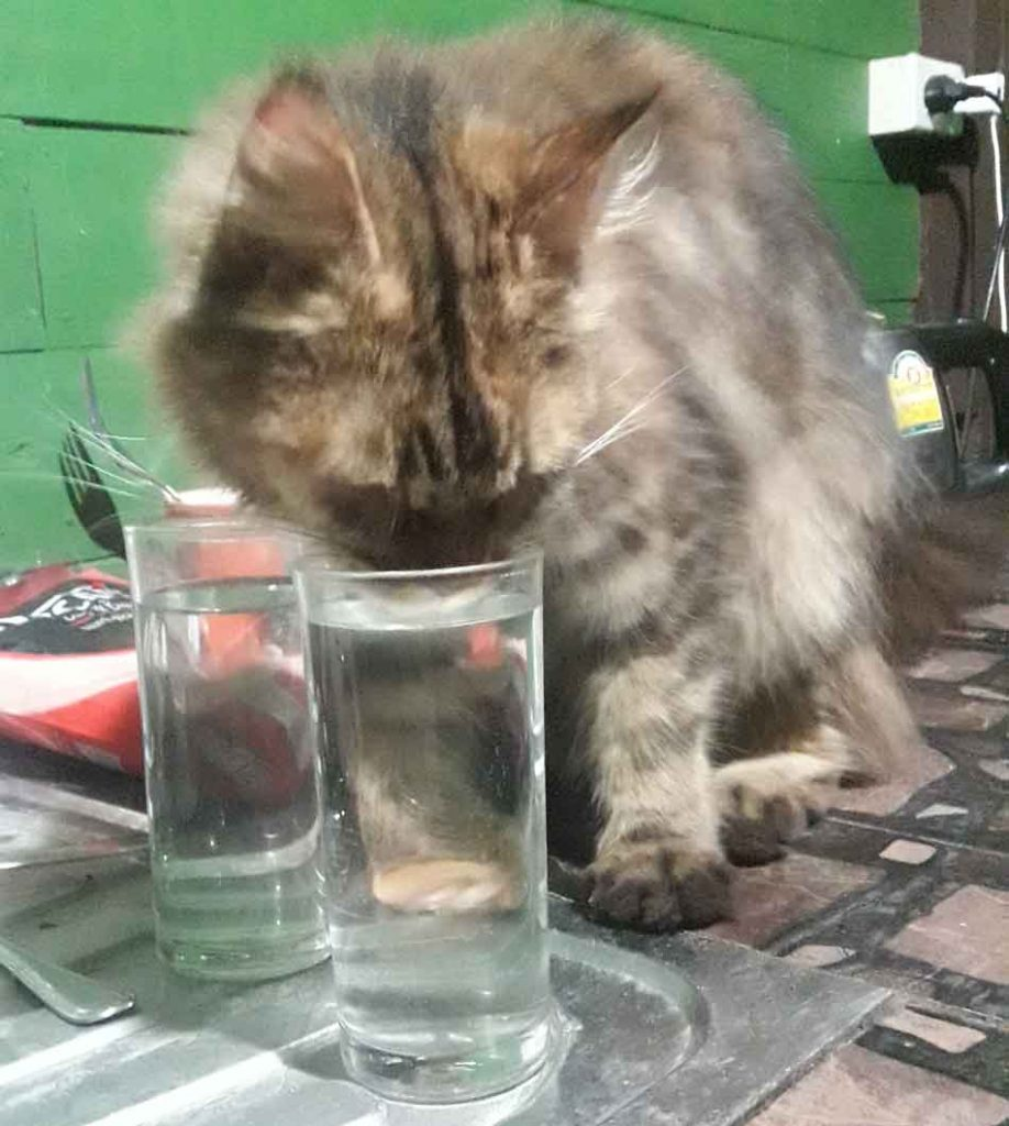 Alita the Maine Coon about to drink water from a glass