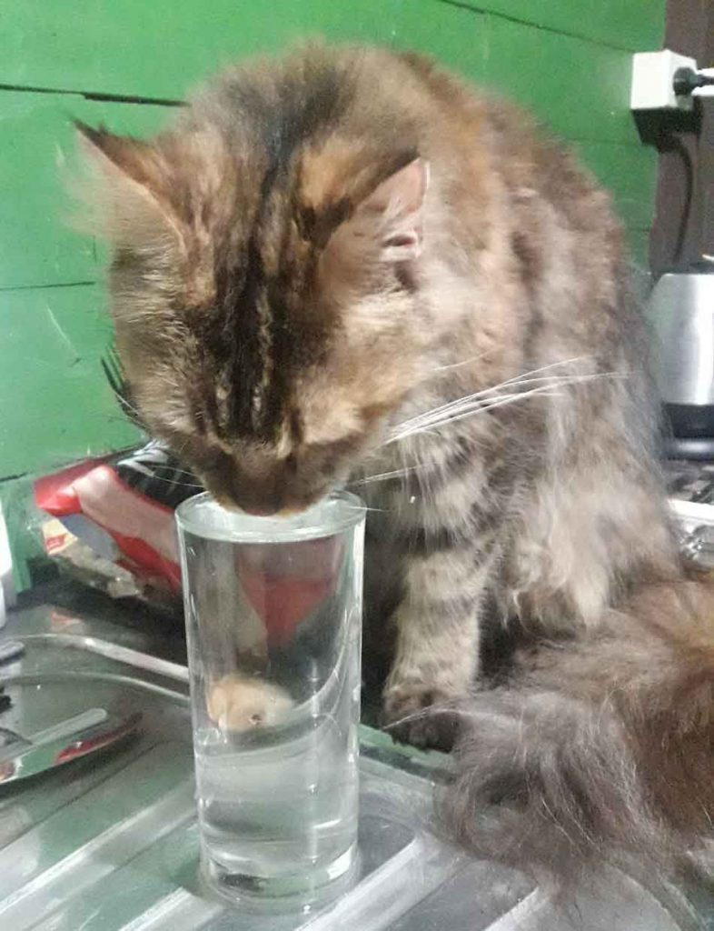 Alita the Maine Coon drinking water from a glass