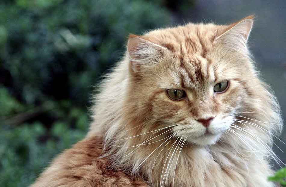 a ginger maine coon cat