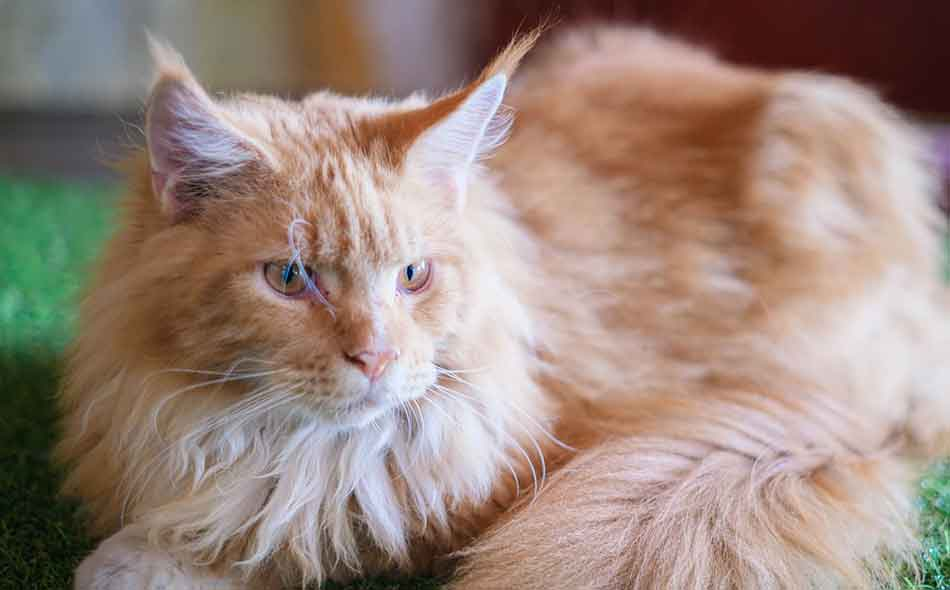 a ginger maine coon looking attentive