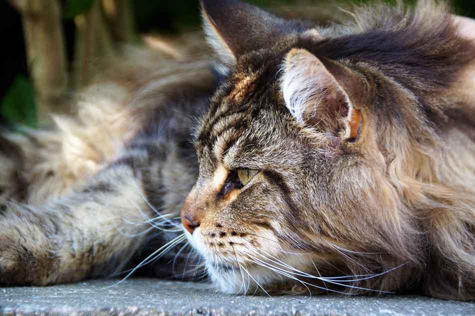 a sleepy maine coon