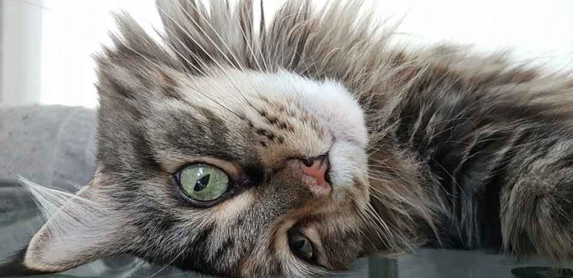 a maine coon upside down