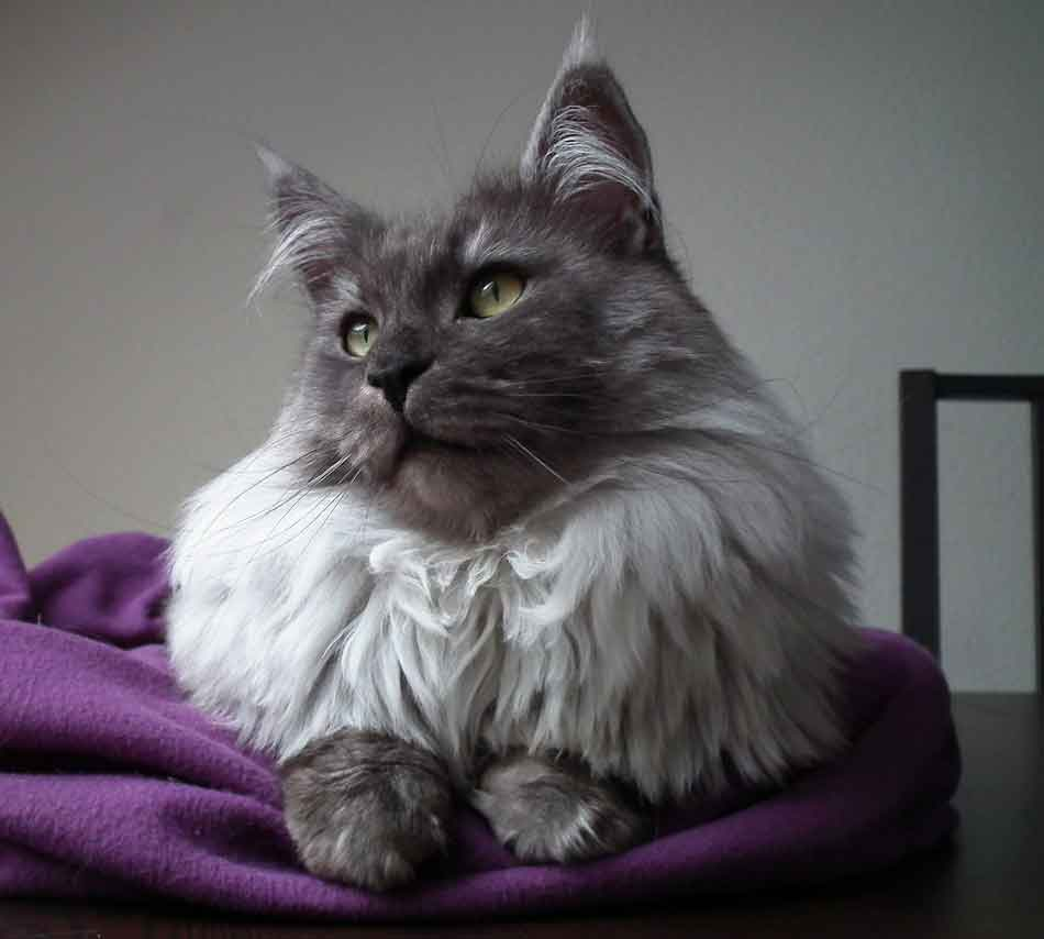 a smoke maine coon on the bed