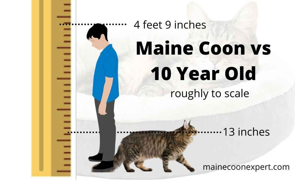 a maine coon compared to 10 year old