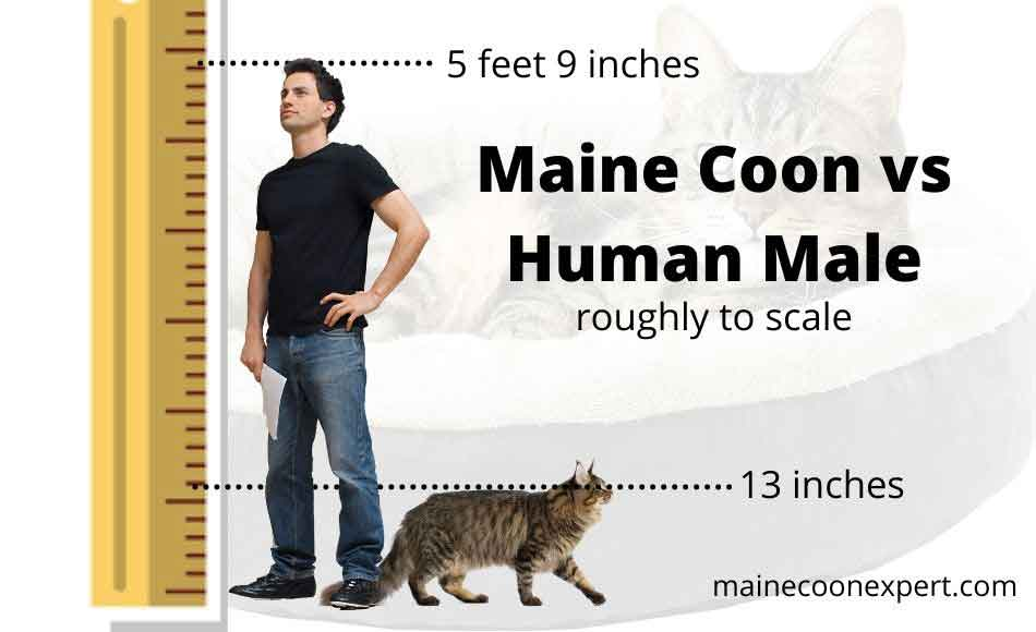 a maine coon compared to human male