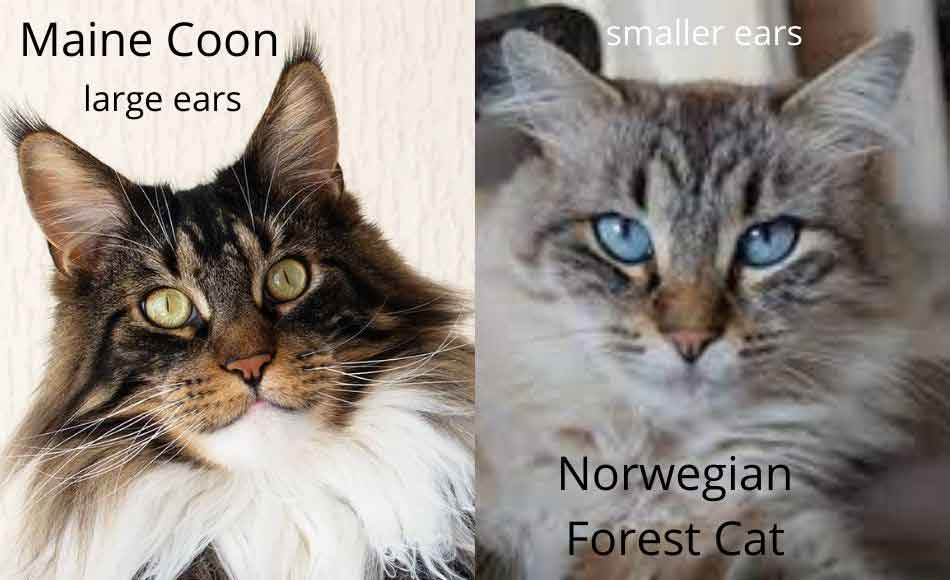 maine coon vs norwegian forest cat ears comparison