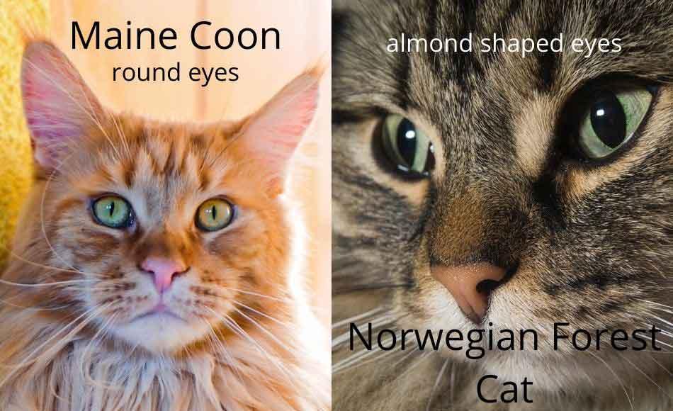maine coon vs norwegian forest cat eyes comparison