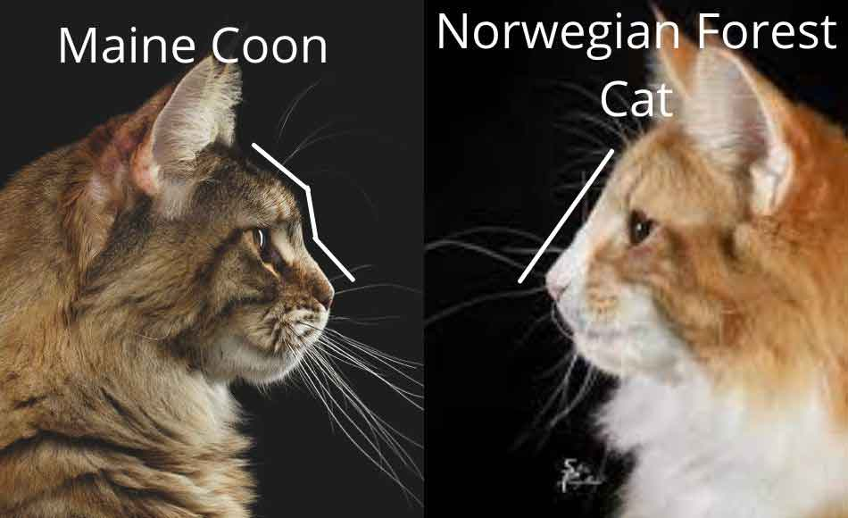 maine coon vs norwegian forest cat face side profile