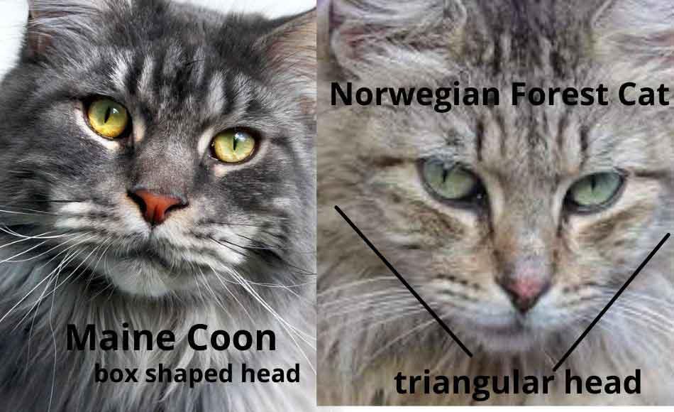maine coon vs norwegian forest cat head shape comparison
