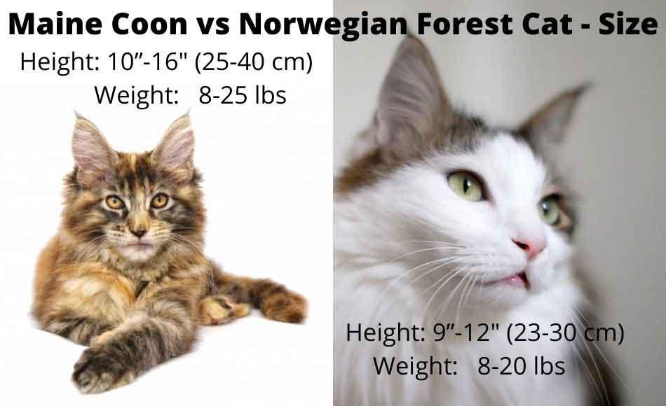 maine coon vs norwegian forest cat size comparison