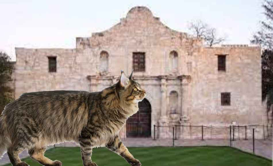 A Maine Coon at the Alamo