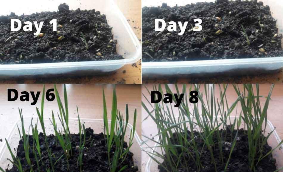cat grass growing