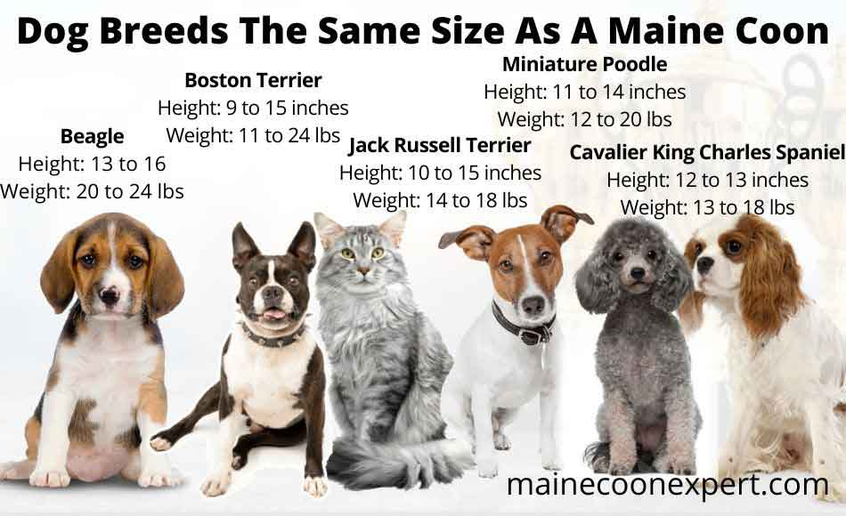 dog breeds the same size as a maine coon