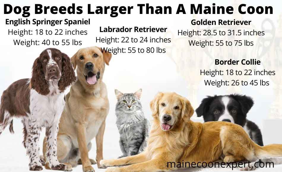 dog breeds larger than a maine coon