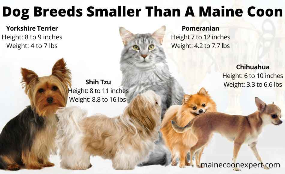 dog breeds smaller than a maine coon