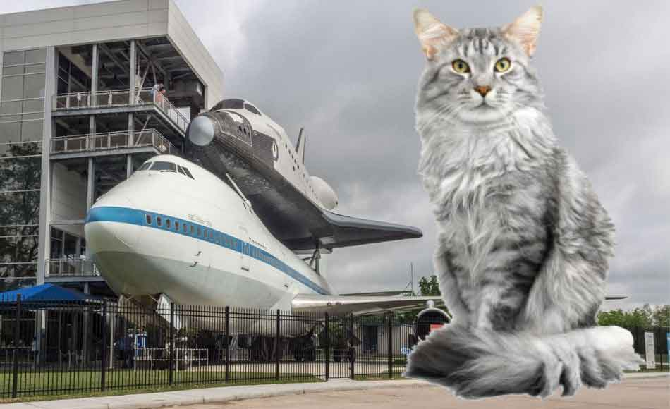 A maine Coon at the Houston Space Center