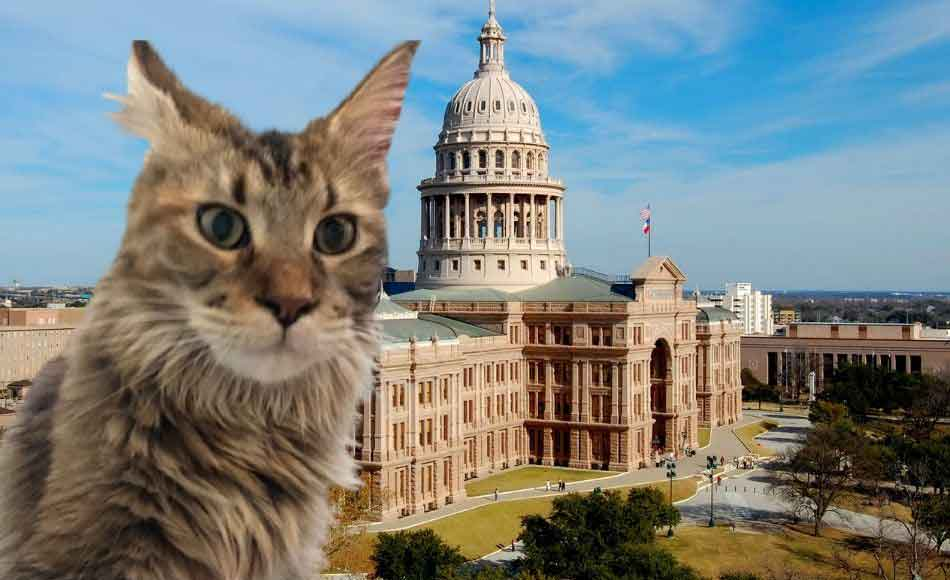 A Maine Coon at the State capitol in houston