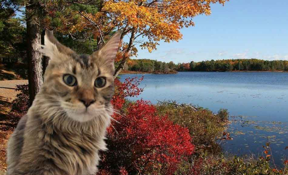 a maine coon at arcadia national park