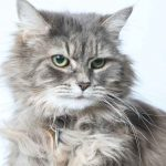 How Much Does It Cost To Adopt A Maine Coon Cat
