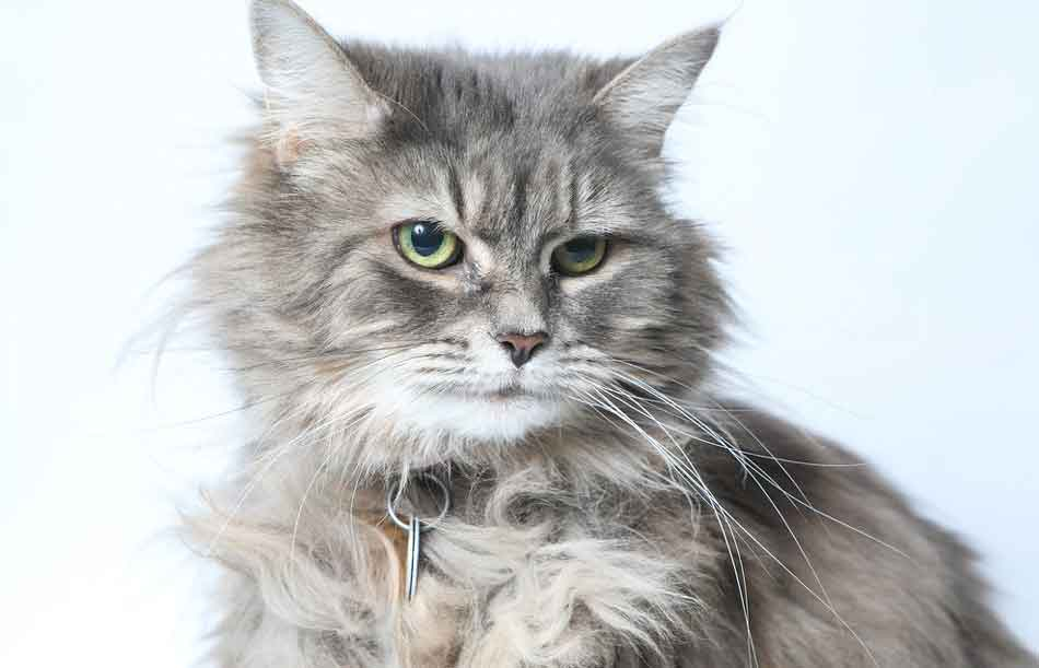 a black and white maine coon picture