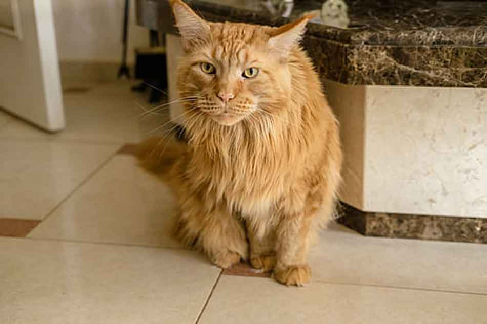 an adopted ginger maine coon